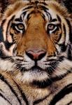 WWF-tigre-bengale-bengaalse-tijger-gallery2.jpg